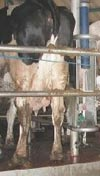 Conventional Milking System